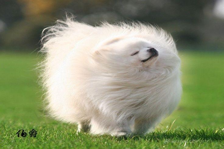 Pomeranian Husky mix - God damn this dog is FABULOUS