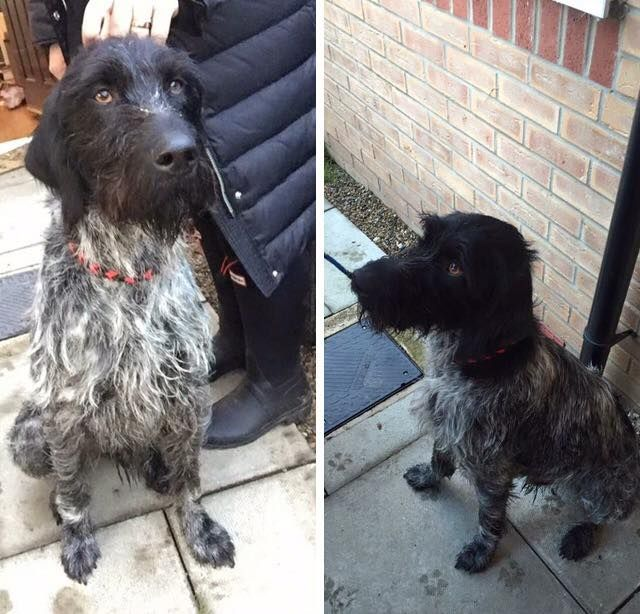 We found this male Pointer dog on 16th October in Bishop Auckland. We are still looking for his owner so please share !! We have contacted all local vets, stray aid and the council warden; he's not been reported missing. He is also not microchipped. He is now going to Stray Aid Kennels in Coxhoe,Read More