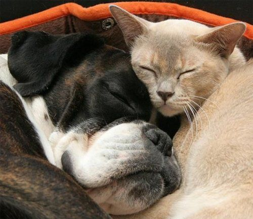 love is love. Siamese cat cuddling Boxer friend.Snuggles, Friends, Funny Animal Pics, Dogs Cat, Pets, Sweets Dreams, Boxers, Cuddling Buddy, Naps Time