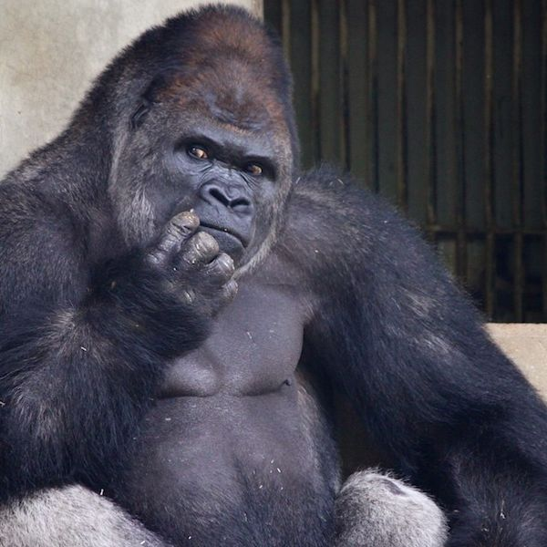 Best The Most Interesting Silverback Gorilla In The World - 10 of the best most fascinating zoos in the world