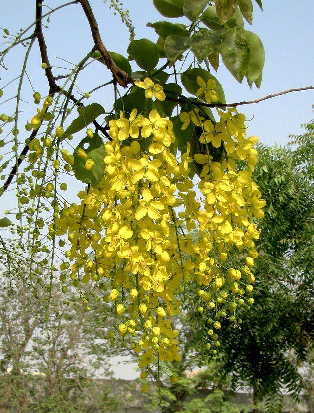Gold Shower Tree Cassia Fistula 8 Seeds Golden Chain Tree Pink Flowering Trees Flowering Trees