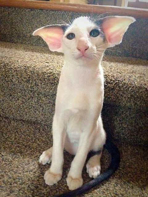 Kitten bears a striking resemblance to Harry Potter's Dobby the elf