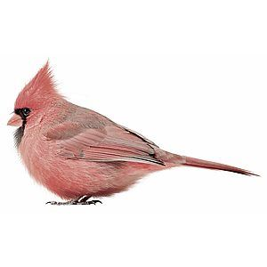 KEK Amsterdam Birds Muursticker - Rode Kardinaal
