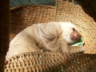 A sloth rescue center isn't something you will find in many places of the world. find out where to find one and how to support it http://travelexperta.com/2009/05/the-only-sloth-rescue-center-in-the-world.html #costarica #rescuecenter #sloth