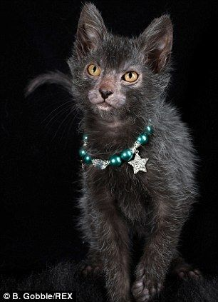 The Lykoi is a breed of cat, a natural mutation of the domestic shorthair. It was developed in Memphis, Tennessee and is said to resemble a werewolf. The Lykoi is a partially or almost entirely hairless cat that is genetically distinct from the Canadian Sphynx. The hair coat is unique in appearance in that it resembles the coat of an opossum when mostly coated. Standards call for a solid black coat, a wedge-shaped head, and a lithe body of solid weight without excessive bulk.