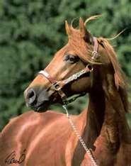 Missouri Foxtrotter ~ best trail riding horse