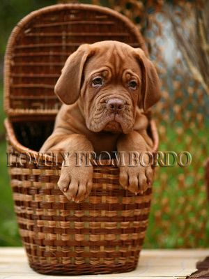 basket with the best surprise  #Dogue de #Bordeaux