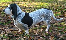 Basset Bleu de Gascogne - Officially on the list for the next litter of these guys that becomes available. Might be a year or more, but it took 2 years to find a breeder in the states.