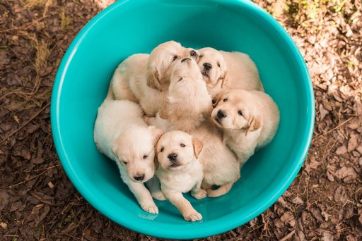 Litter Of 6 Golden Retriever Puppies For Sale In Lavonia Ga Usa