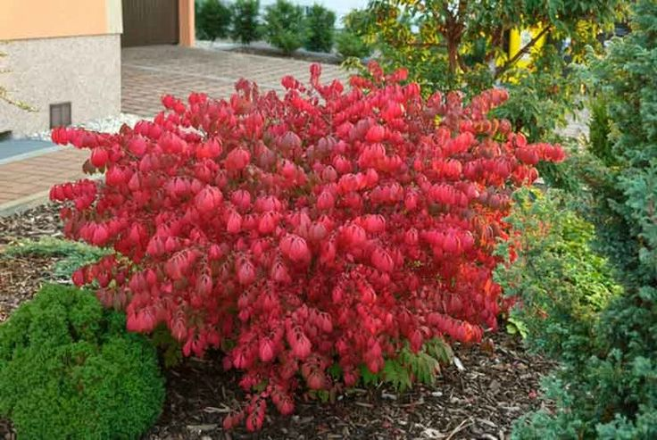 Euonymus alatus 'Compactus', Compact Burning Bush, Compact Winged Spindle Tree, Compact Winged Euonymus, Compact Winged Burning Bush, Euonymus alatus 'Compacta', shrubs, fall color, shrub with berries, red leaves