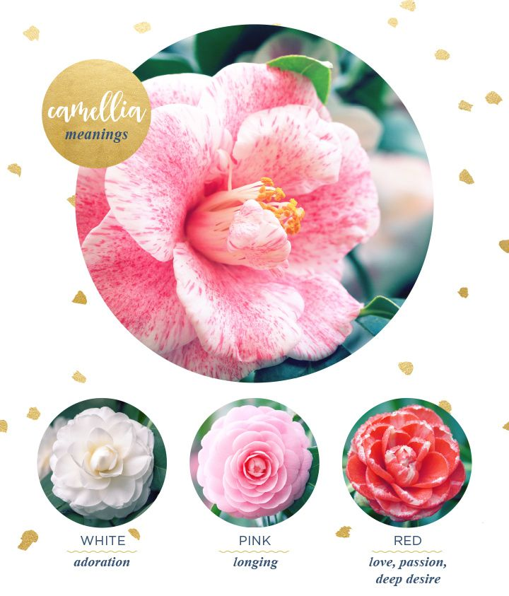 Camellia Meaning And Symbolism Ftd Com Flower Meanings Ftd Flowers Camellia Flower