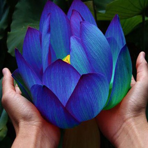 Flower seeds  Blue Lotus Seeds  Aquatic plants Water Plants Midnight Blue Lotus  10pcs  AA-in Bonsai from Home, Kitchen & Garden on Aliexpress.com | Alibaba Group