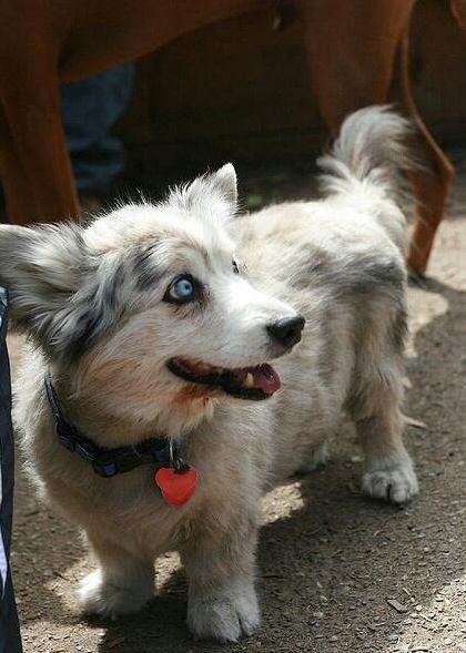 Husgi (Husky + Corgi) | 19 ungewöhnliche Hunde-Kreuzungen, die Dein Herz im Sturm erobern werden