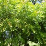 Neem Tree (Azadirachta indica)