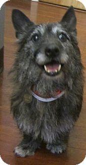 Oak Ridge, NJ - Second Chance Pet Adoption League, Cairn Terrier. Meet Kylee-PUPPYMILL RESCUE, a dog for adoption. http://www.adoptapet.com/pet/12949328-oak-ridge-new-jersey-cairn-terrier