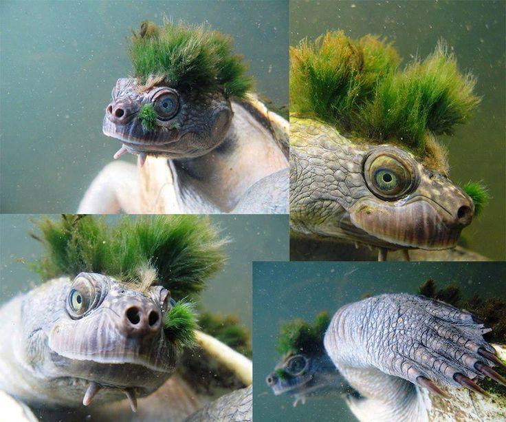 Esta tartaruga é uma espécie de água doce e só foi descrita por cientistas em 1994 no Rio Mary, na região de Brisbane, Austrália. Elusor macrurus é considerada endêmica deste rio australiano e é classificada como ameaçada de extinção pelo governo do país.   http://amanari.org.br/a-tartaruga-e-o-inquillino/