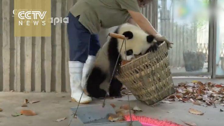 Man stelle sich vor, man hat den Job, den Panda Käfig sauber zu machen. Sollte ja nicht allzu stressig sein, könnte man meinen, hie und da etwas getrocknete Blätter zusammen wischen und entfernen und den Mist rauskarren und gut ist. Doch weit gefehlt, den diese zwei jugendlichen Riesenpandas sehen dies als eine Gelegenheit an, zu [ ]