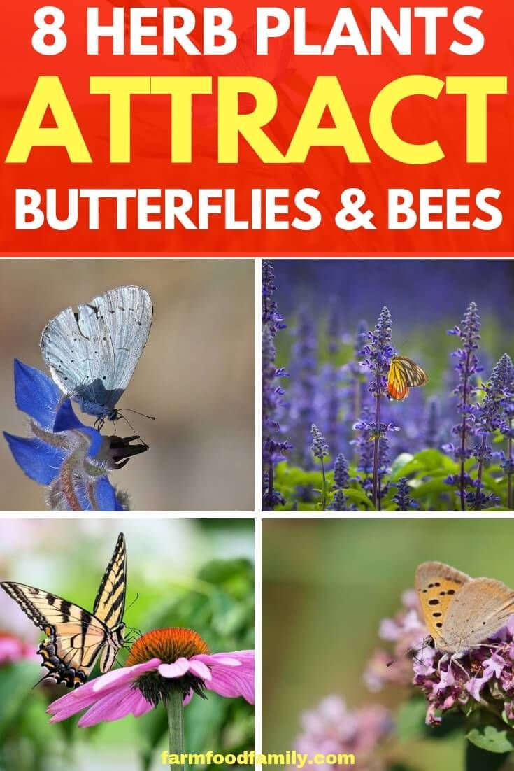 8 Herb Plants That Attract Butterflies And Bees To Your Garden Plants That Attract Butterflies Planting Herbs Butterfly Garden Plants