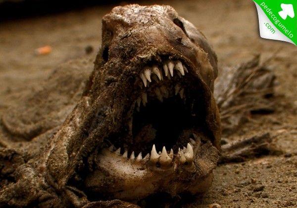 Chirodactylus brachydactylus.  Possui lábios carnudos e uma boca muito pequena. É bicolor e  apresenta uma fila de pontuações brancas em ambos os flancos. É comum na costa sul-africana, e povoa poças e canais da zona-de-marés, e também vive em recifes. Os adultos apresentam os raios inferiores da barbatana peitoral estreitos e alongados. Estes raios, na parte posterior, são livres e funcionam como apêndices. Servem para manter o equilíbrio, quando o peixe descansa, e para detectar alimento.