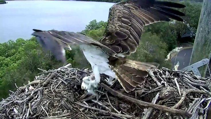 2015 12 29 Osprey female brings in lfish