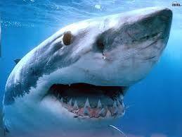 dit is de witte haai, hij kan wel 7 meter worden en kan wel 3400 kilo wegen.