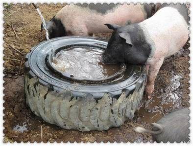 pig watering bowl
