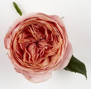 Romantic Antike Rose // available all year round