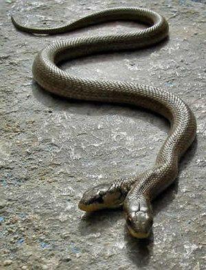 En serpientes con dos cabezas (las que nacen con cierta frecuencia), cuando una captura una presa, la otra siente el olor a comida y ataca a la cabeza de su siamés