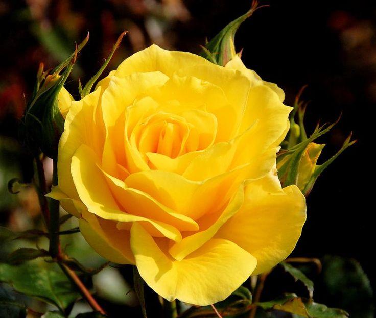 Cuál es el significado de las rosas amarillas - http://www.jardineriaon.com/cual-es-el-significado-de-las-rosas-amarillas.html