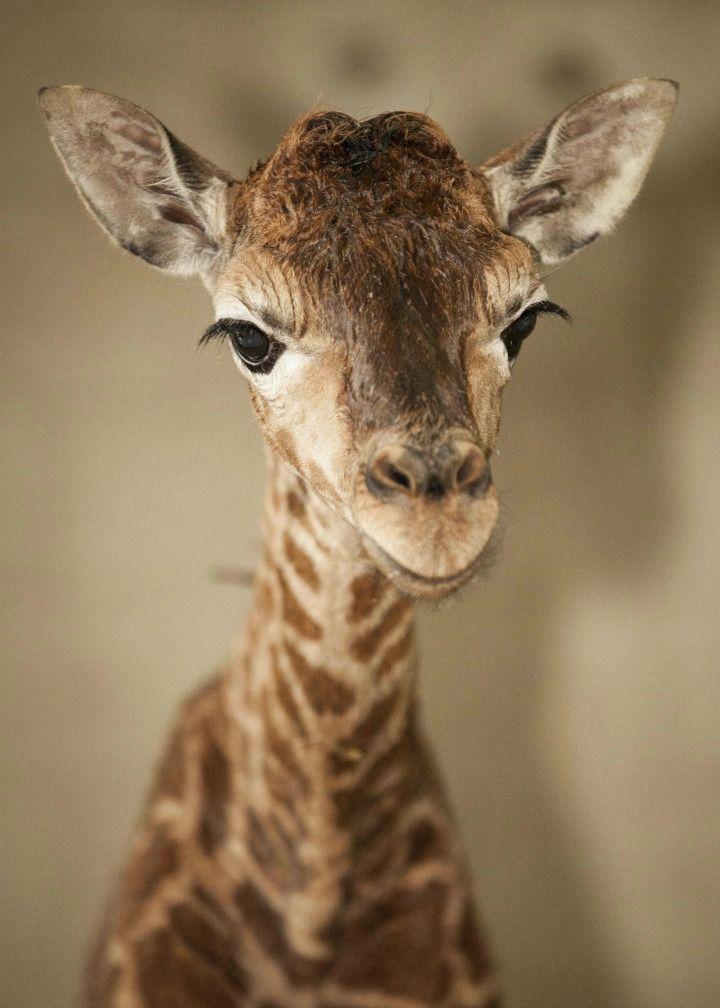 baby giraffe this made me smile pinterest