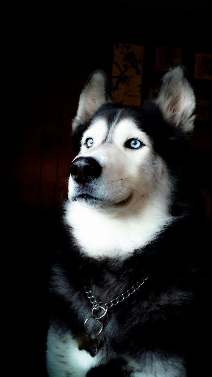 What a beautiful Husky