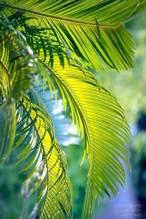 Palm Fronds ~ Photography by Tammy Hughes