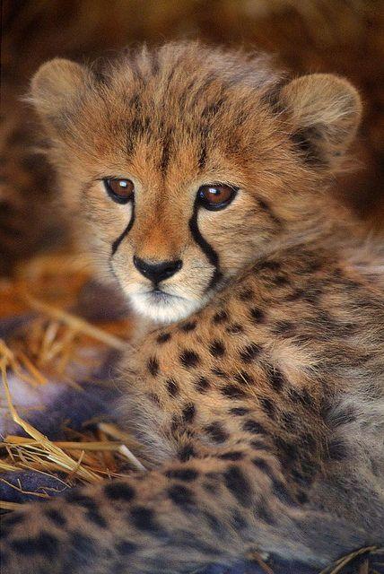Süßer kleiner Gepard