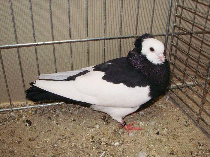 Roller Tauben Pigeons Pigeon Birds Parrot