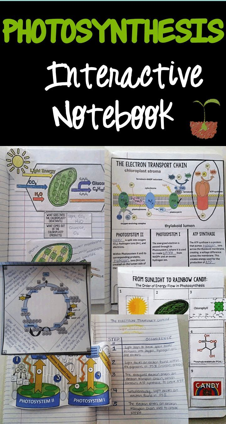 Photosynthesis interactive science notebook contains 15 different activities that are categorized as general photosynthesis, light reactions and dark reactions.