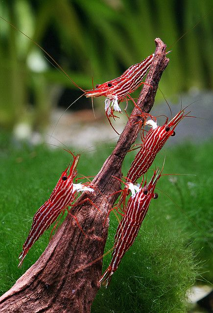 Sulawesi Shrimp ~ I like ghost shrimp, cherry red & blue shrimp.  Someday I want to get some.  ...