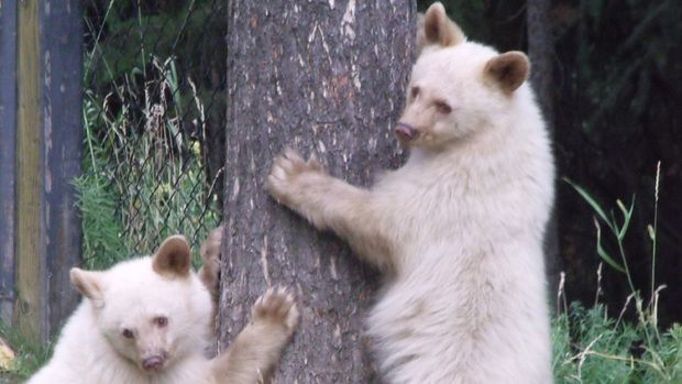 Conservation officers shoot dozens of black bears every year in B.C.'s Elk Valley region but spared two white-furred cubs, seen here in a 2011 photo, and relocated them to Alberta.