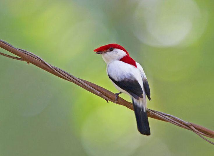 animais-em-extincao-passaro-soldadinho-do-araripe-nordeste-brasileiro