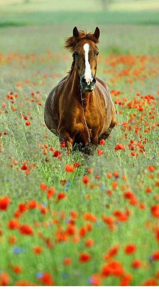 Close-up Chestnut Horse With A White Mark Stock Photo