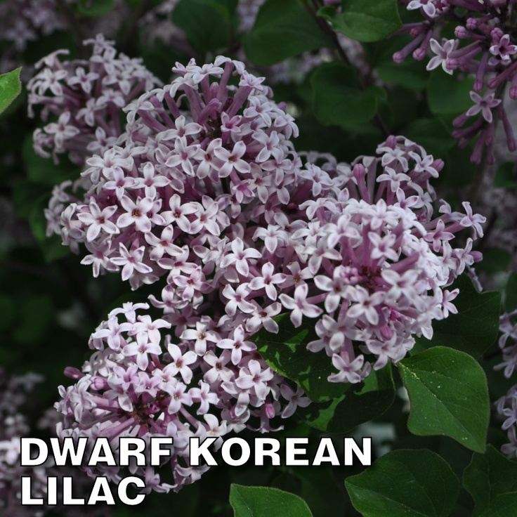 Dwarf Korean Lilac Flowering Shrubs Pinterest Lilacs