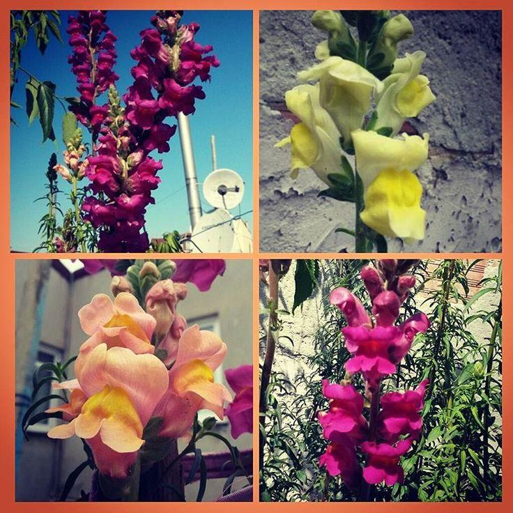 Günaydın.  #gunaydin #goodmorning #gutenmorgen #bonjour #aslanagzi #antirrhinum #aslanağzı #çiçek #flower #çiçekler #flowers #flores #flora #doğa #nature #yeşil #green #balkon #balcon #bahçe #garden #gardener #gardens #botanic #botanical #nazonuncicekleri #ilkbahar #spring #instaflower http://turkrazzi.com/ipost/1517291934786272540/?code=BUOgPnJgD0c