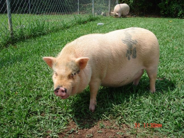 Adult mini potbelly pig - photo#13