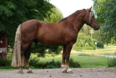 Finn horse  Maranello
