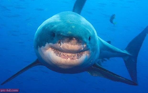 صور سمك القرش المفترسة معلومات عن سمك القرش Great White Shark Shark Big Shark
