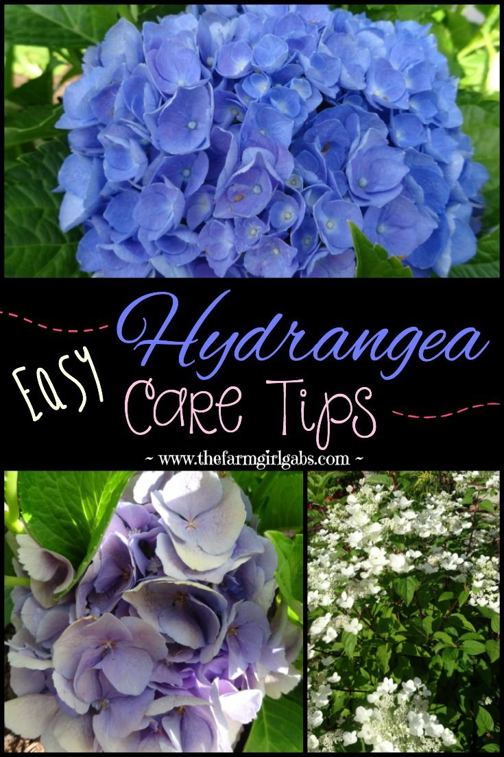 Easy Hydrangea Care tips plus a really simple DIY Hydrangea Mason Jar Arrangement that you can make. {www.thefarmgirlgabs.com}