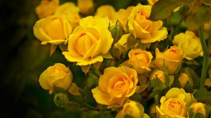 ber ideen zu gelbe rosen auf pinterest rosen blumen bedeutungen und rosen zitate. Black Bedroom Furniture Sets. Home Design Ideas
