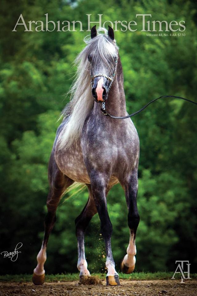 Arabian Horse Arabian Horse Show - Western Competition Egyptian Stallion Breeding PIntabians  3