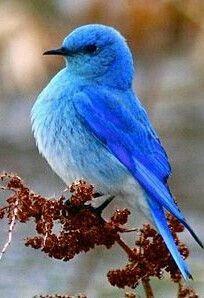 Mountain Bluebird - click for a nice article on bluebirds ...