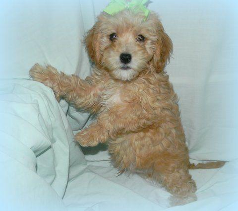 Cavapoo Puppies. henagar, ALABAMA 2566576697 Cavapoo
