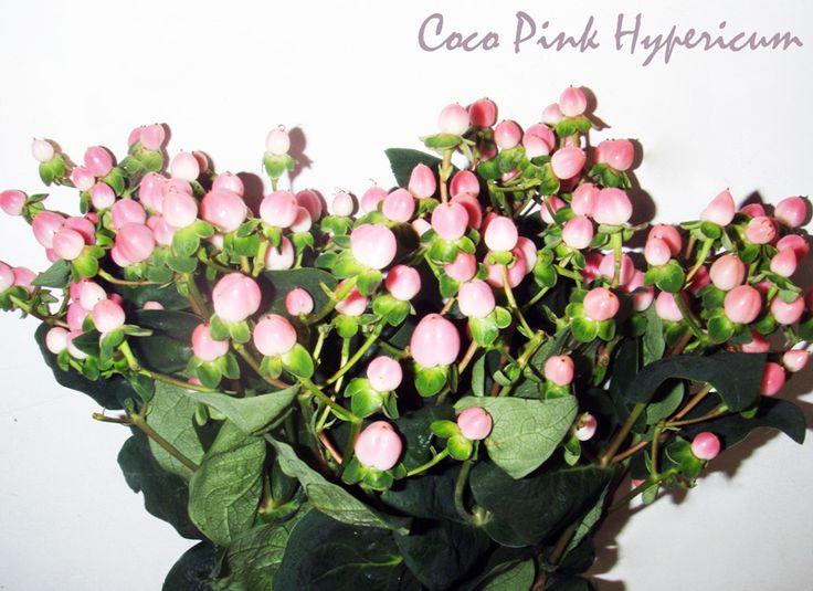 Coco casino hypericum
